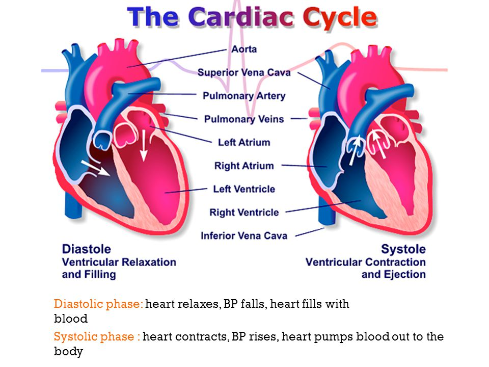 Diastolic phase: heart relaxes, BP falls, heart fills with blood