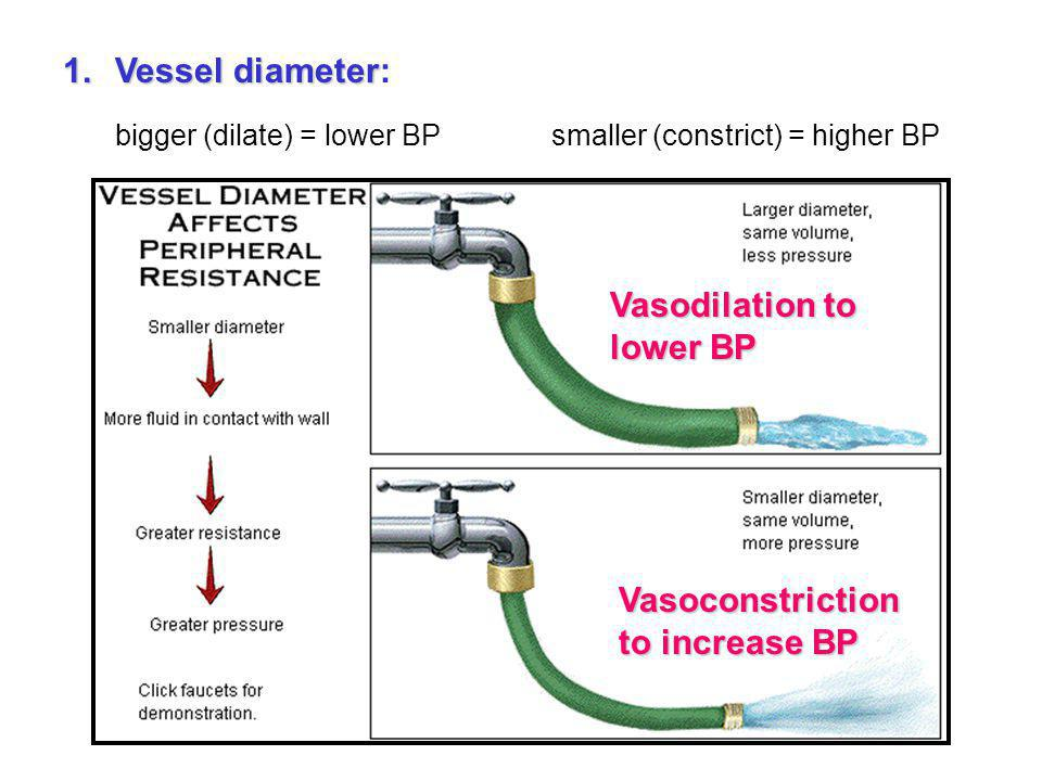 bigger (dilate) = lower BP smaller (constrict) = higher BP