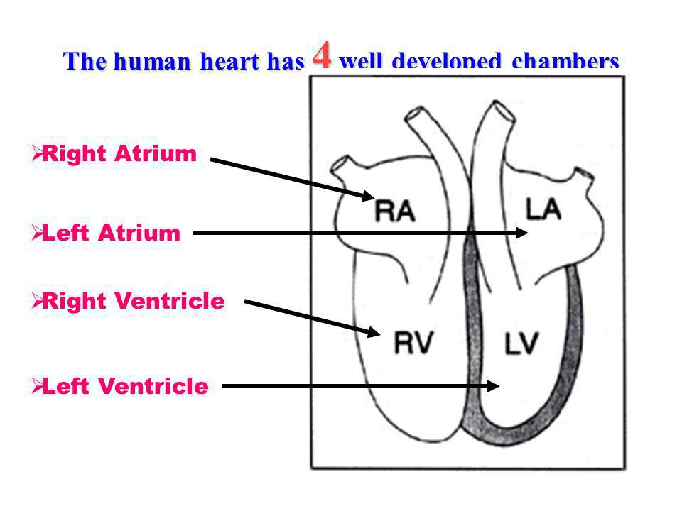 The human heart has 4 well developed chambers