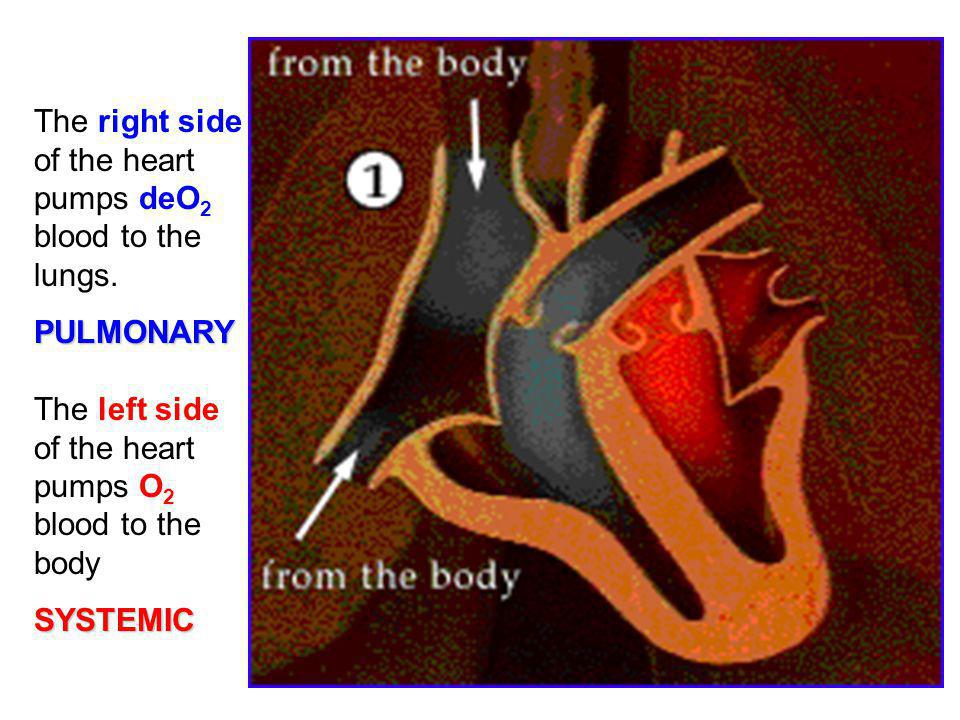 The right side of the heart pumps deO2 blood to the lungs.
