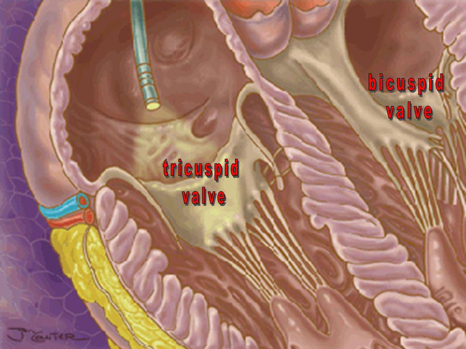 bicuspid valve tricuspid valve