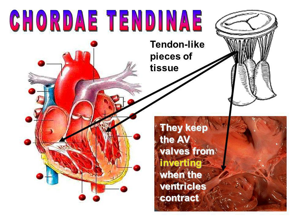 CHORDAE TENDINAE Tendon-like pieces of tissue