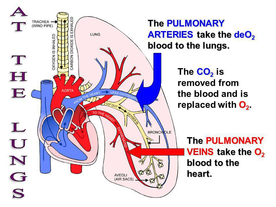 AT THE LUNGS The PULMONARY ARTERIES take the deO2 blood to the lungs.