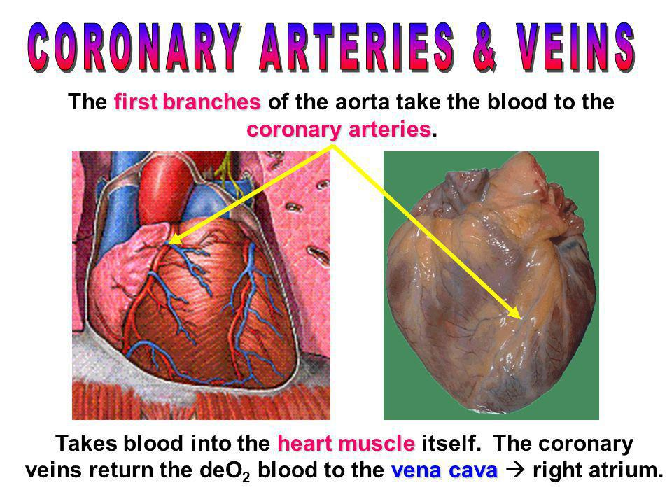 CORONARY ARTERIES & VEINS