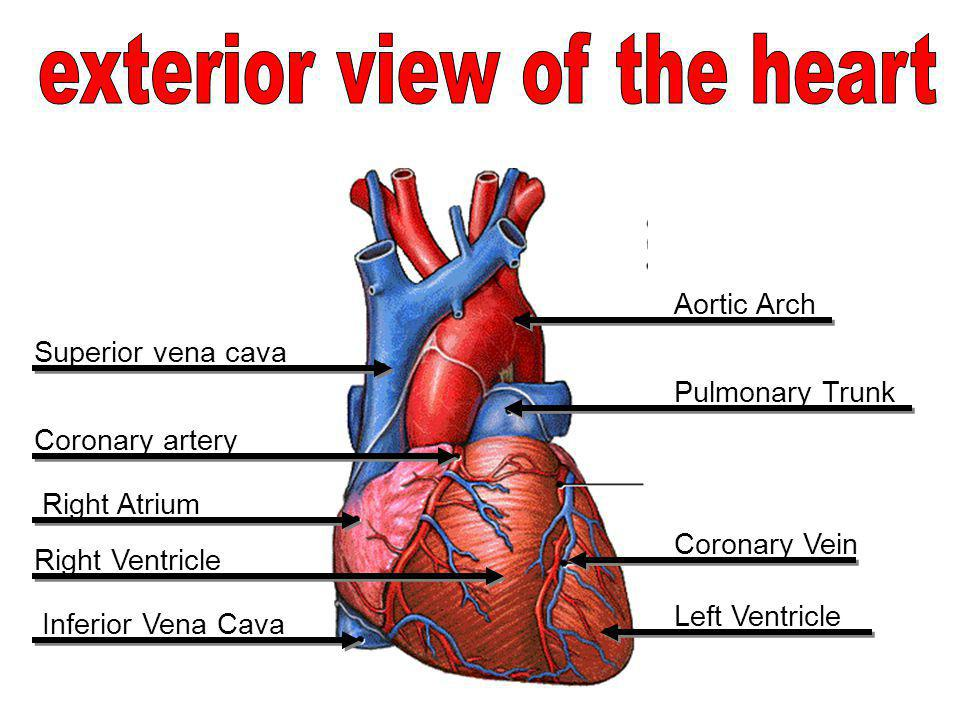 exterior view of the heart
