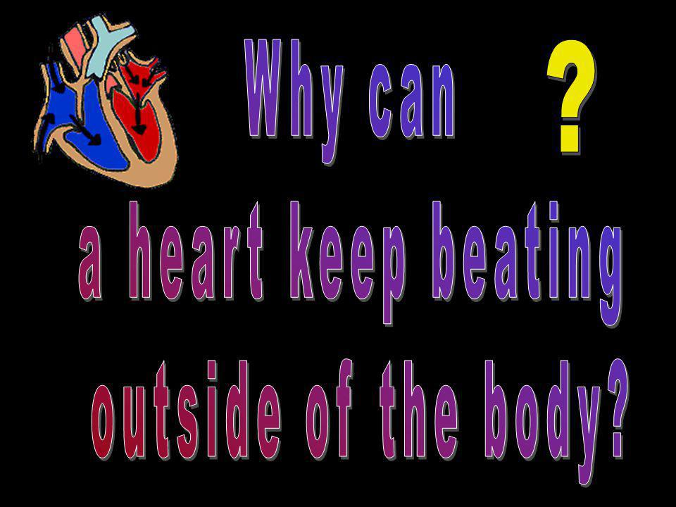 Why can a heart keep beating outside of the body
