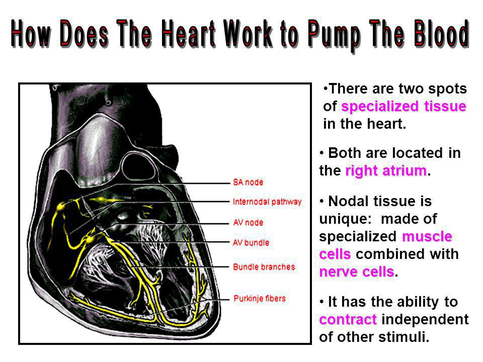 How Does The Heart Work to Pump The Blood