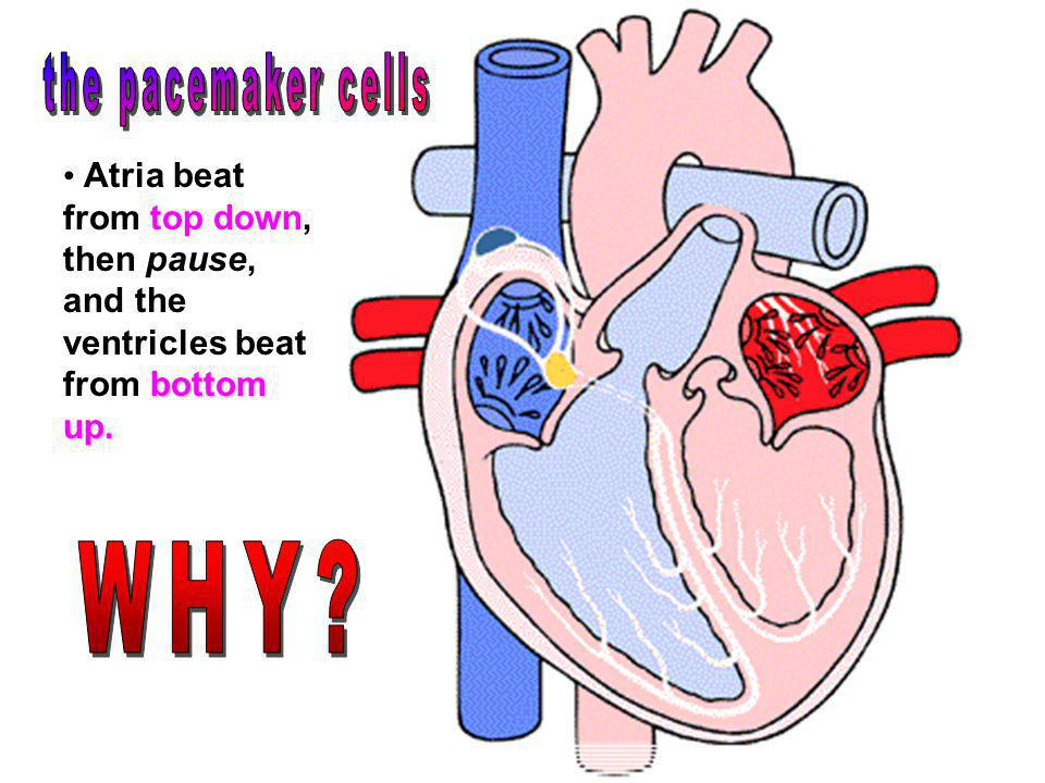 the pacemaker cells WHY