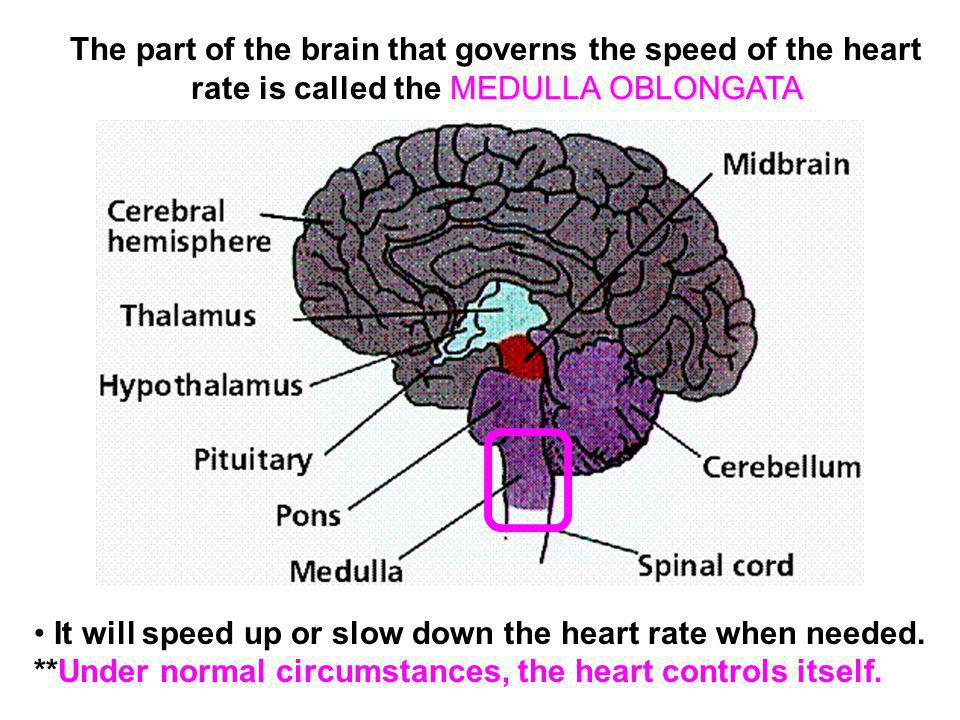 The part of the brain that governs the speed of the heart rate is called the MEDULLA OBLONGATA