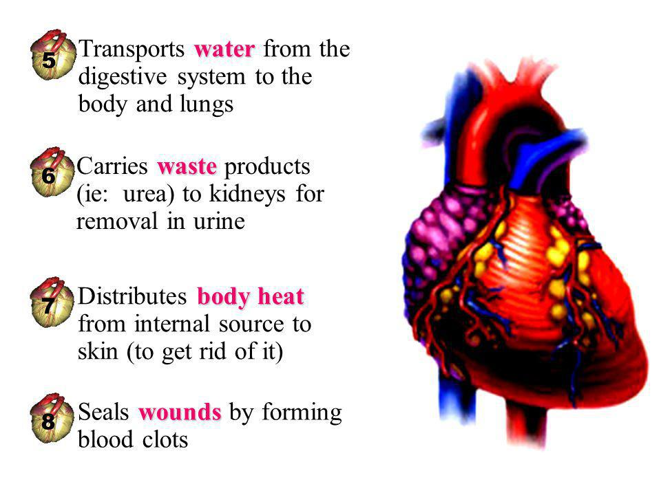Transports water from the digestive system to the body and lungs