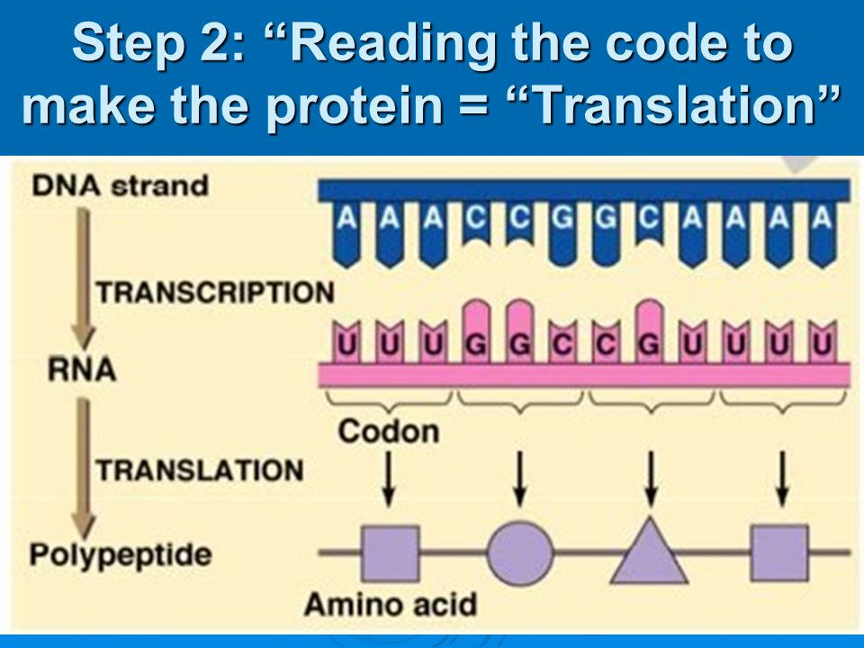 Step 2: Reading the code to make the protein = Translation