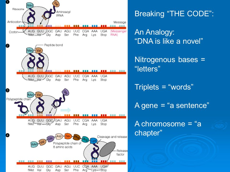 Breaking THE CODE : An Analogy: DNA is like a novel Nitrogenous bases = letters Triplets = words