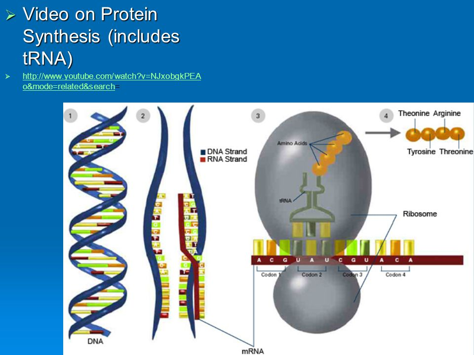 Video on Protein Synthesis (includes tRNA)