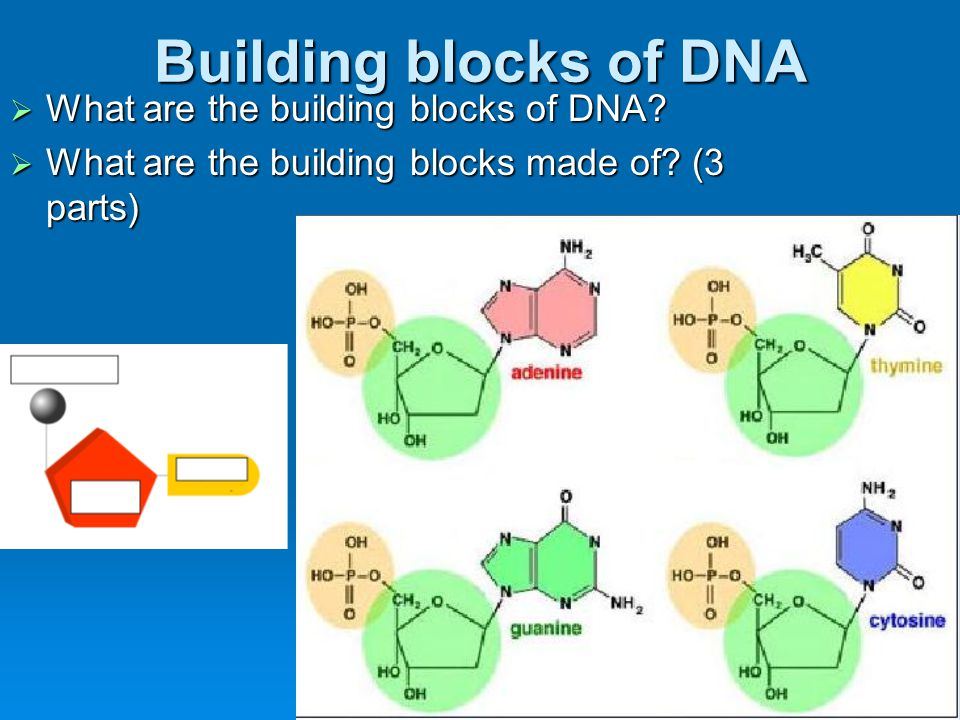 Building blocks of DNA What are the building blocks of DNA