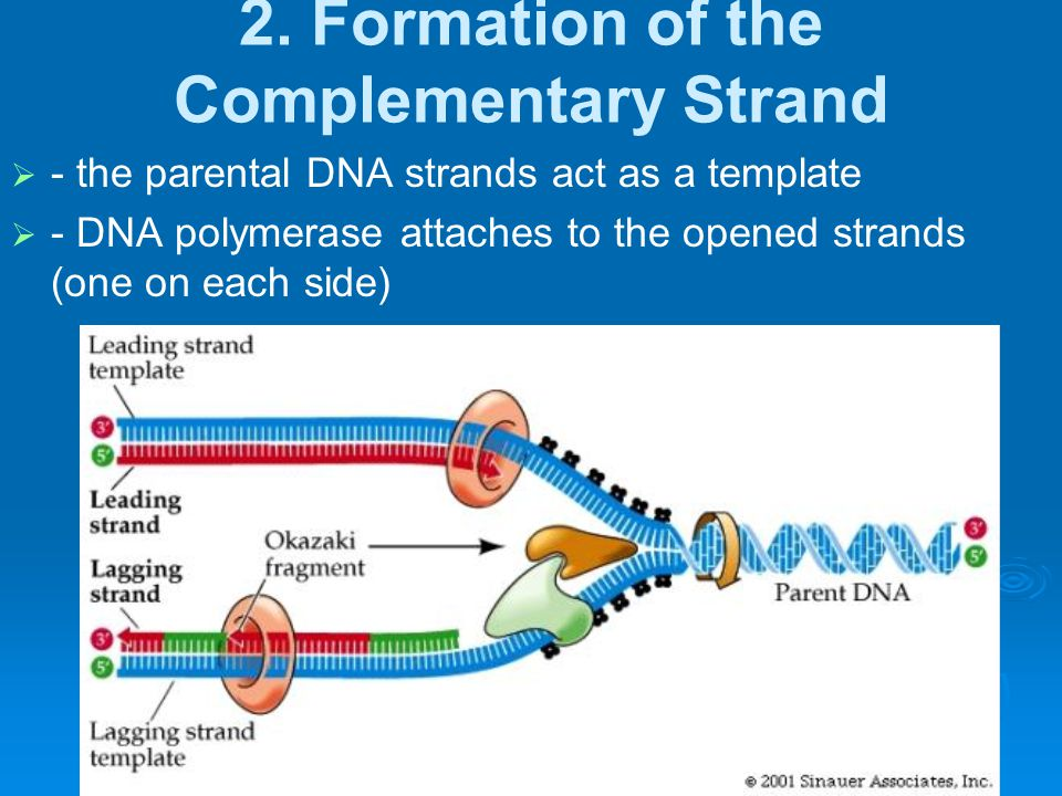 2. Formation of the Complementary Strand