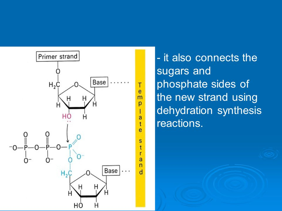 - it also connects the sugars and phosphate sides of the new strand using dehydration synthesis reactions.