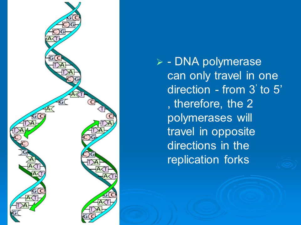 - DNA polymerase can only travel in one direction - from 3' to 5' , therefore, the 2 polymerases will travel in opposite directions in the replication forks