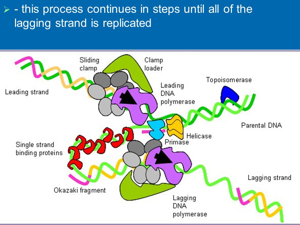 - this process continues in steps until all of the lagging strand is replicated