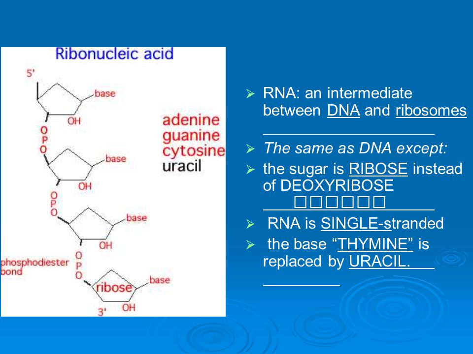 RNA: an intermediate between DNA and ribosomes