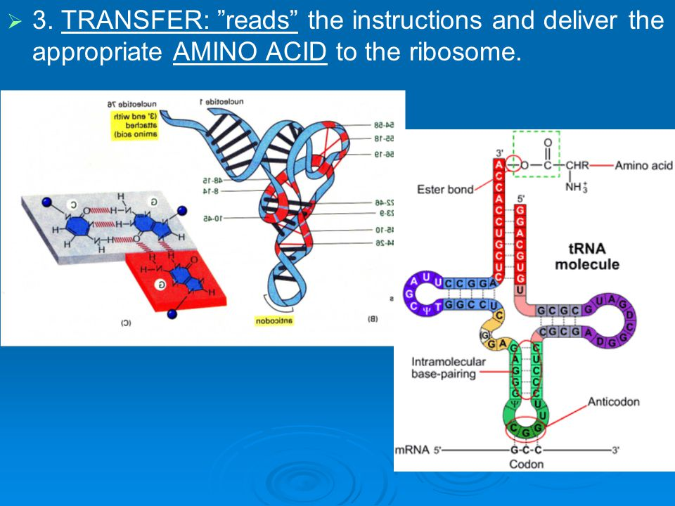 3. TRANSFER: reads the instructions and deliver the appropriate AMINO ACID to the ribosome.