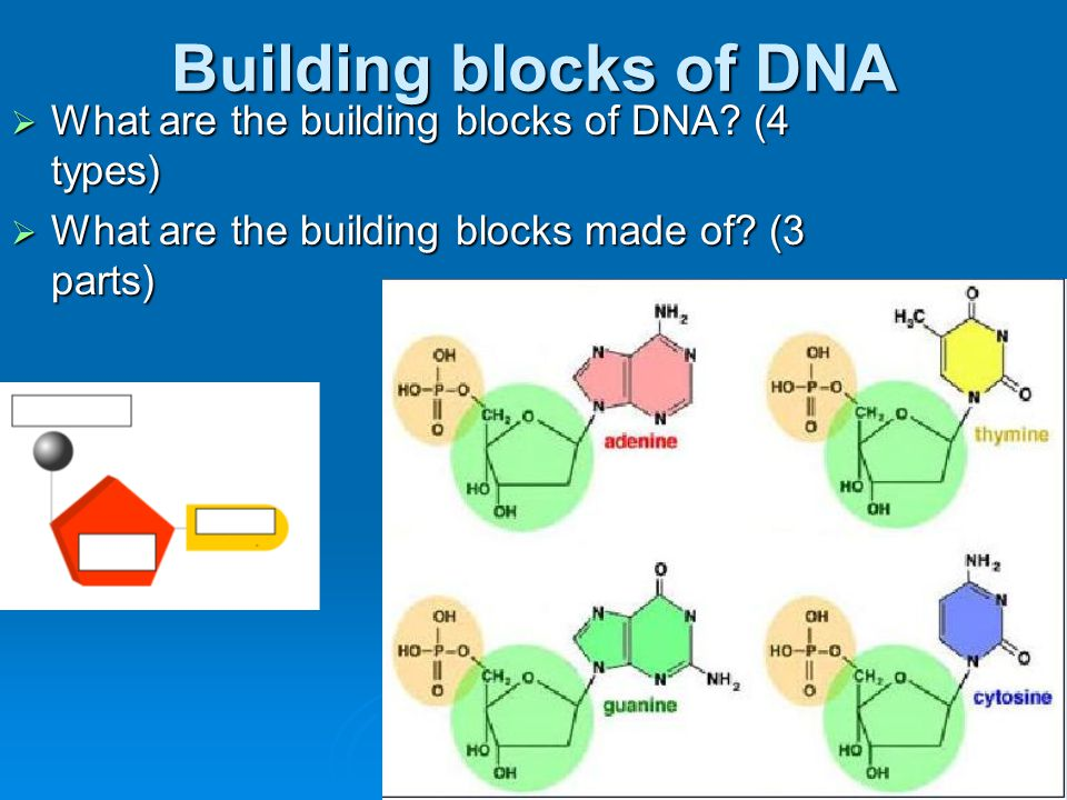 Building blocks of DNA What are the building blocks of DNA (4 types)