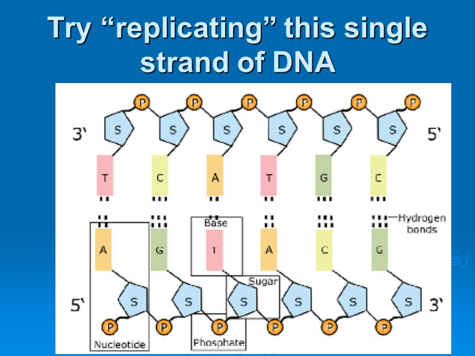 Try replicating this single strand of DNA