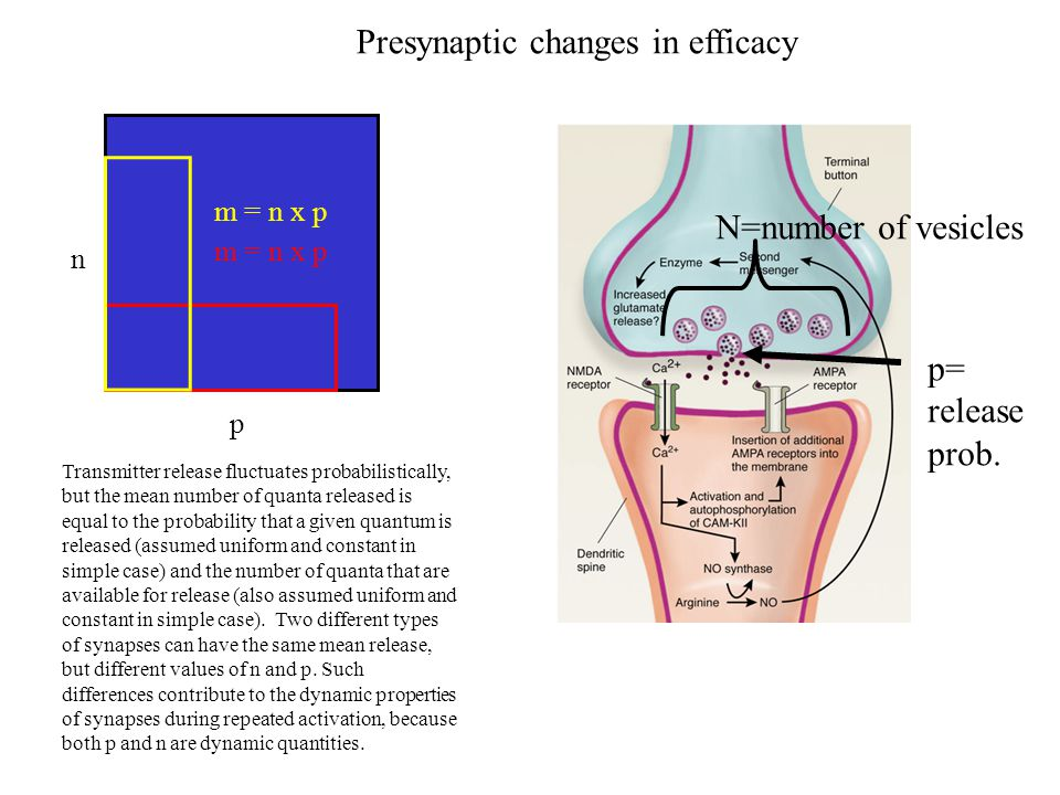Presynaptic changes in efficacy