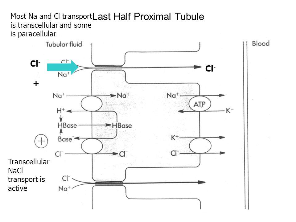 Last Half Proximal Tubule