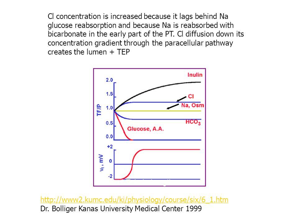 Proximal Tubule Length