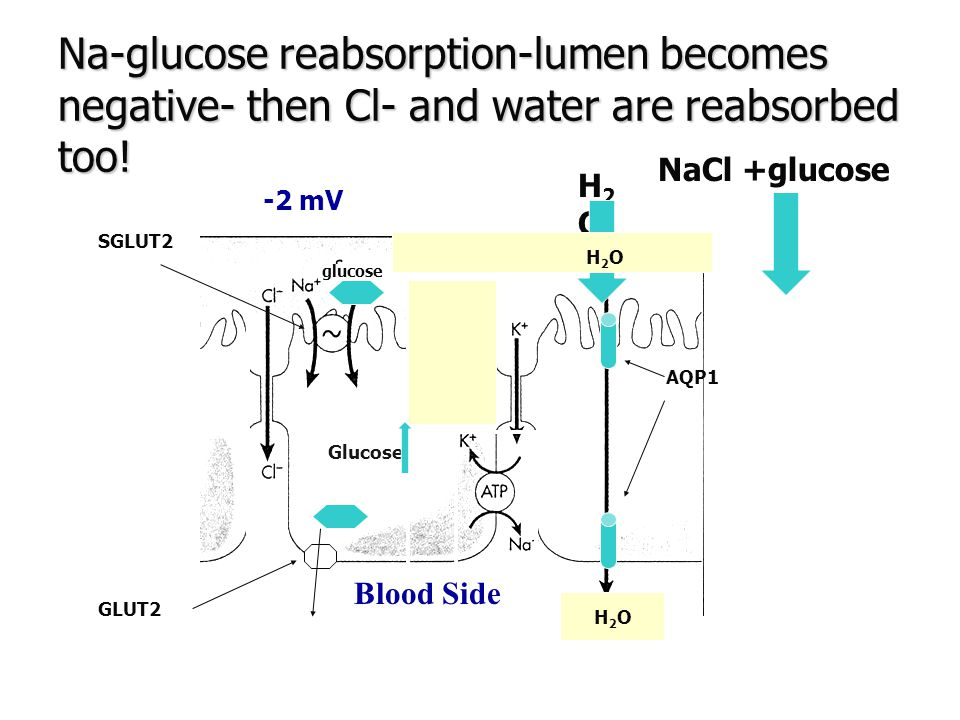 Na-glucose reabsorption-lumen becomes negative- then Cl- and water are reabsorbed too!