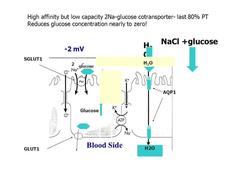 NaCl +glucose H2O Lumen Blood Side -2 mV