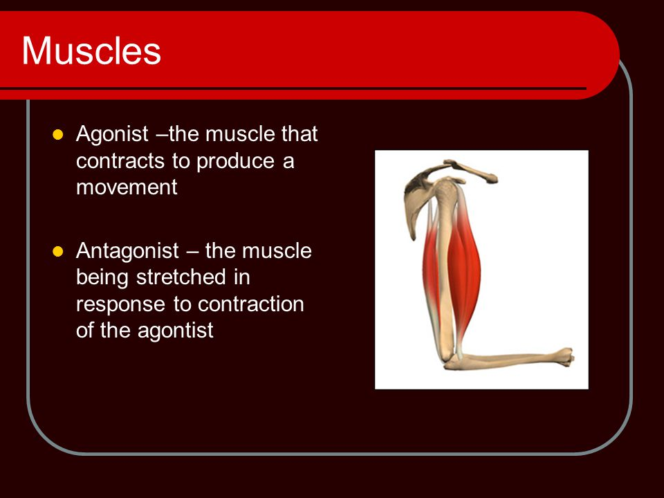 Muscles Agonist –the muscle that contracts to produce a movement
