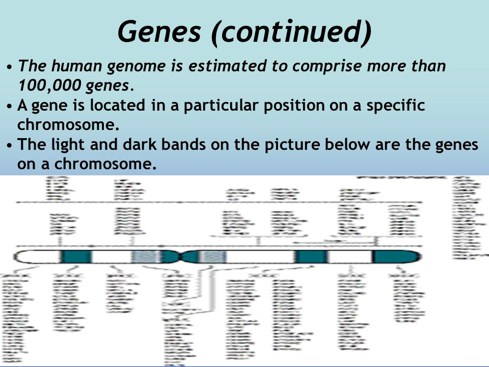 Genes (continued) The human genome is estimated to comprise more than 100,000 genes.