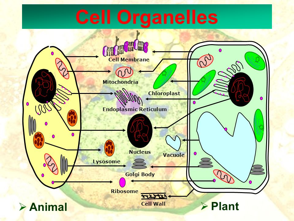 Cell Organelles Animal Plant Cell Membrane Mitochondria Chloroplast