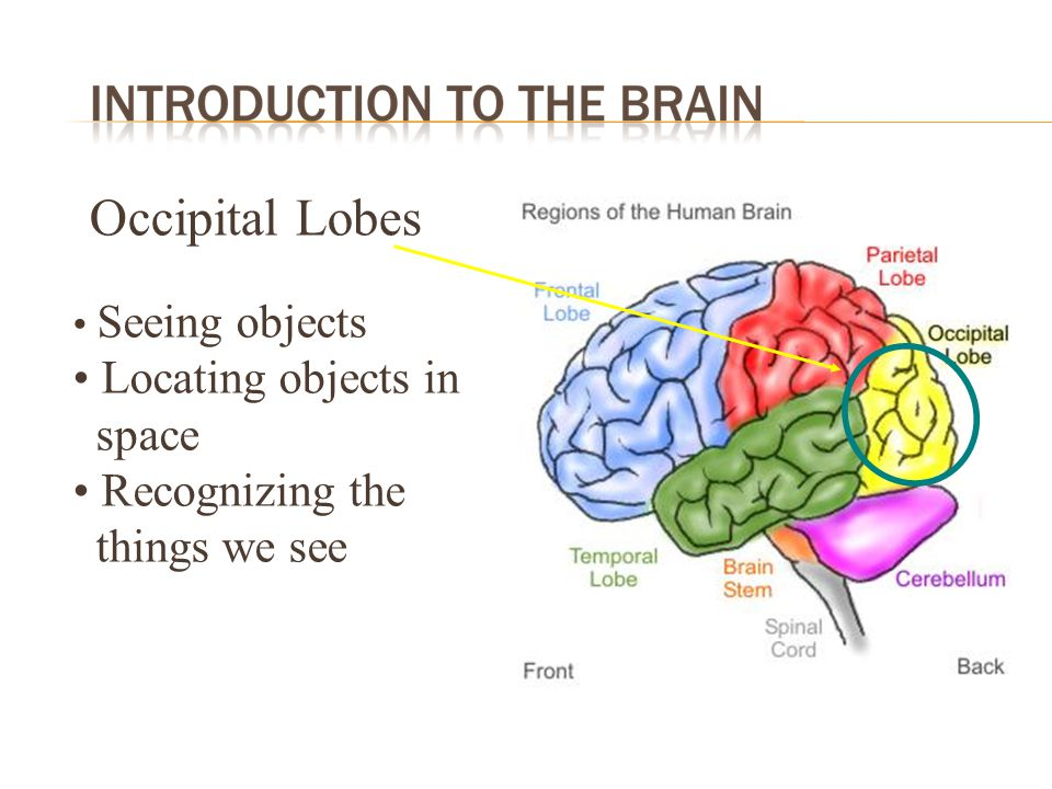 Occipital Lobes Locating objects in space Recognizing the