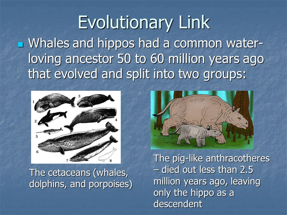Evolutionary Link Whales and hippos had a common water-loving ancestor 50 to 60 million years ago that evolved and split into two groups: