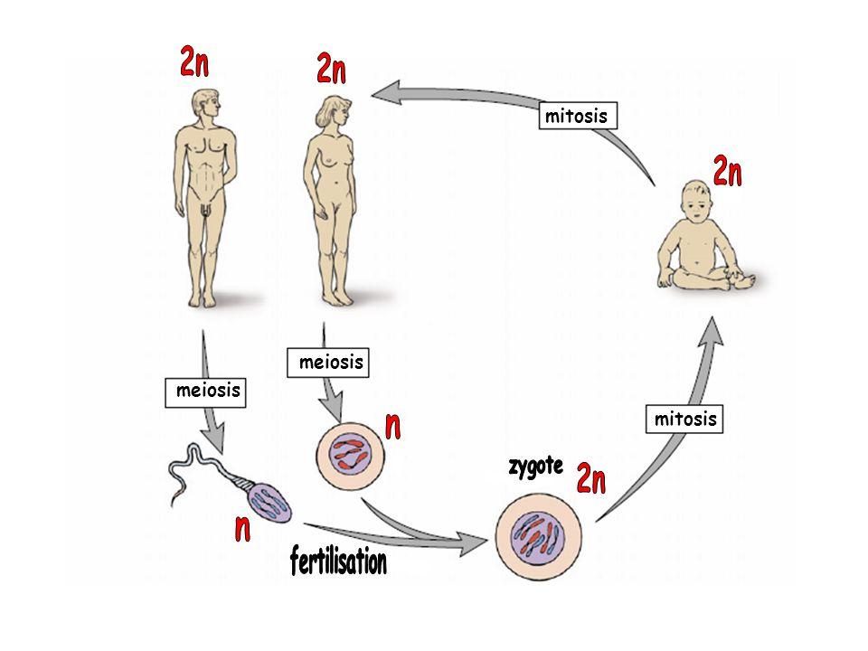 2n 2n mitosis 2n meiosis meiosis mitosis n zygote 2n n fertilisation