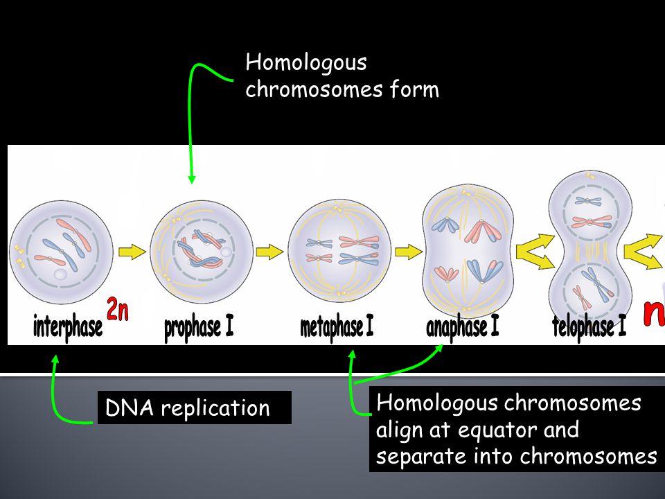 Homologous chromosomes form
