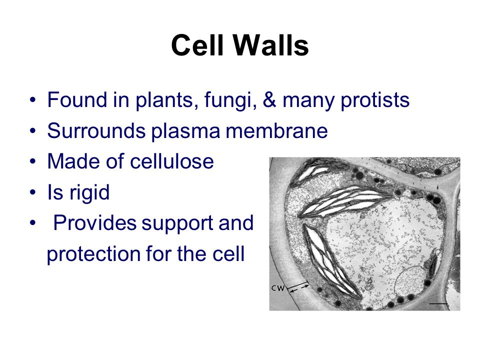 Cell Walls Found in plants, fungi, & many protists