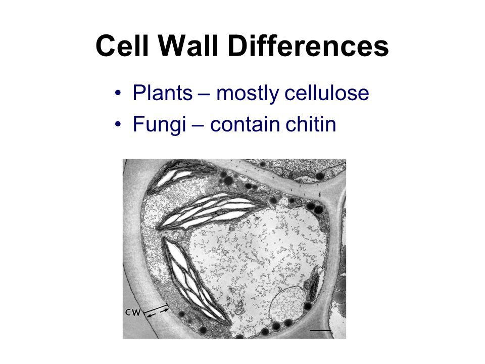 Cell Wall Differences Plants – mostly cellulose Fungi – contain chitin