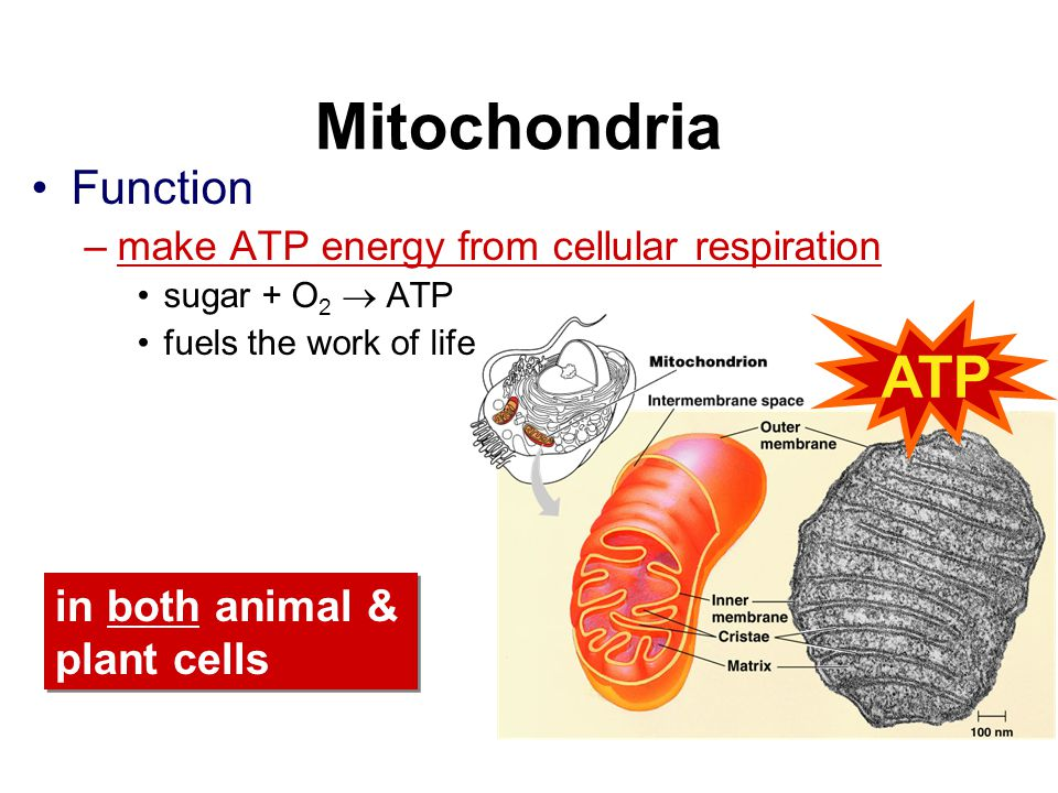 Mitochondria ATP Function in both animal & plant cells