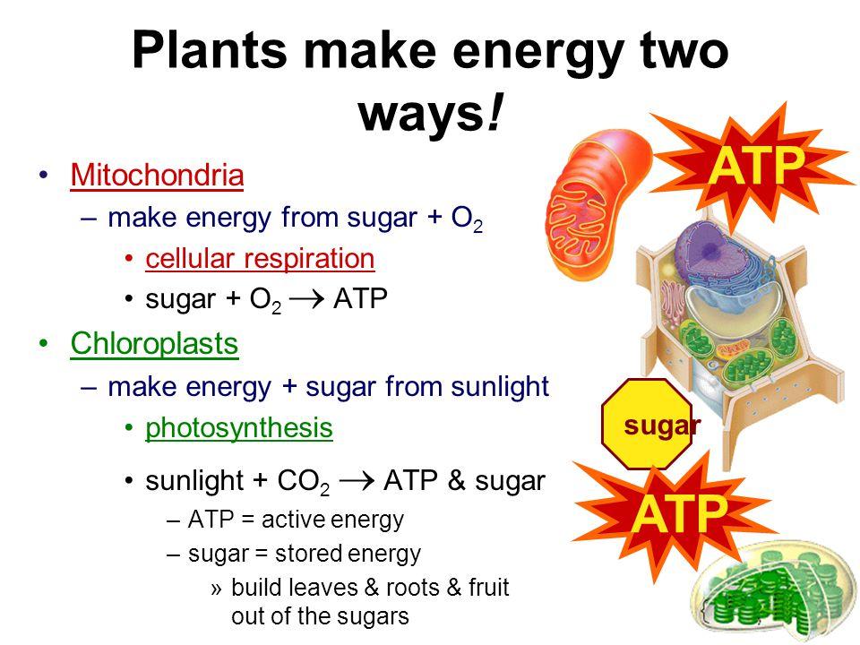 Plants make energy two ways!