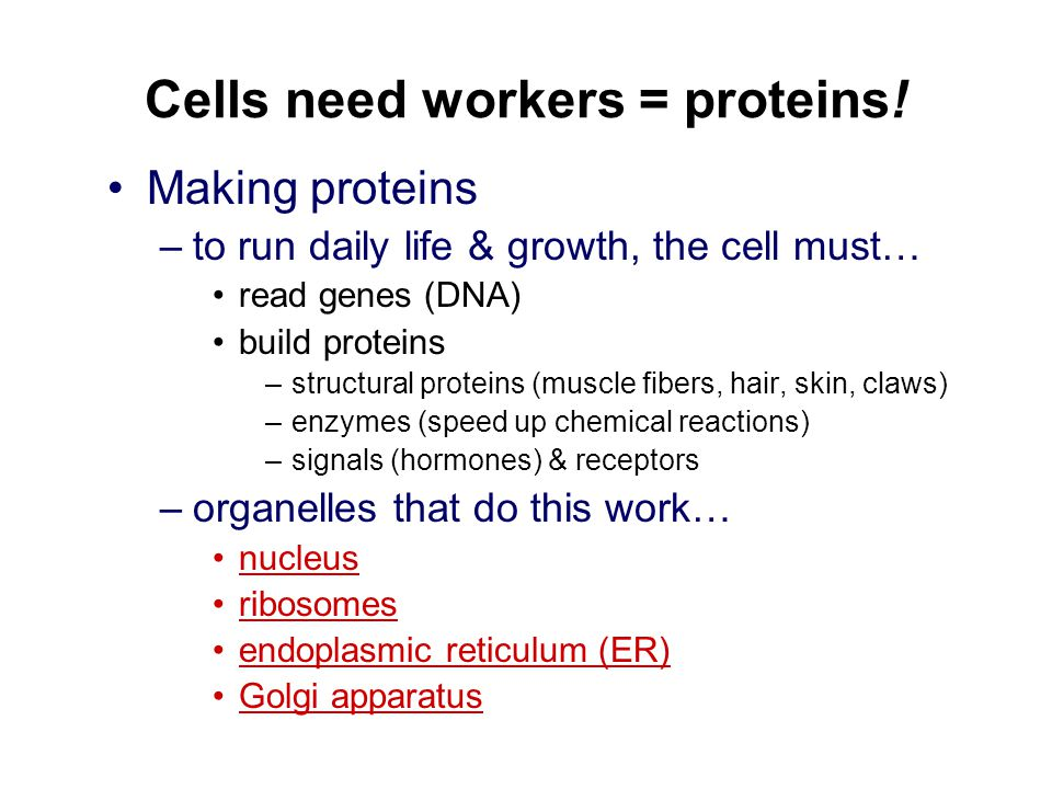 Cells need workers = proteins!