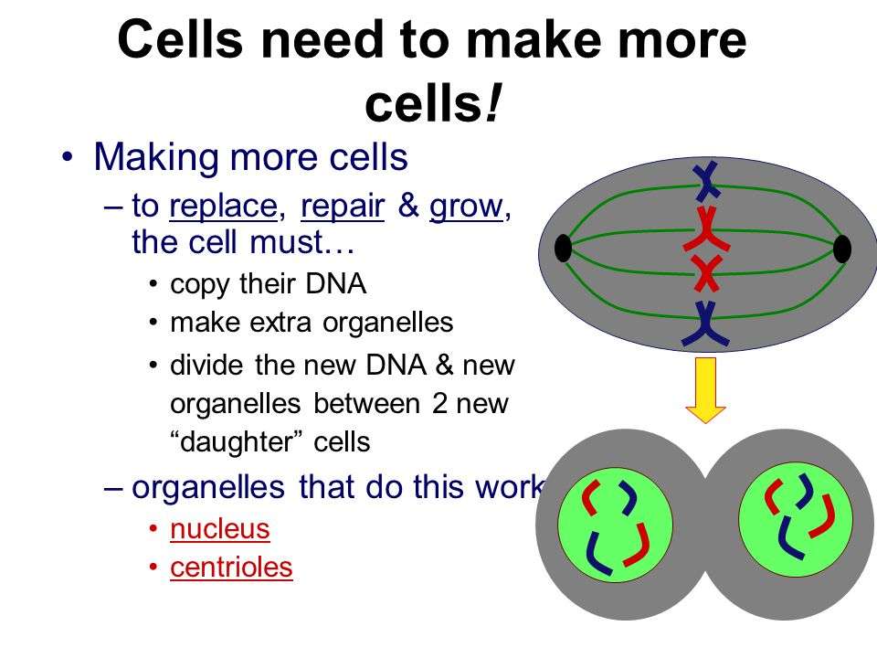Cells need to make more cells!