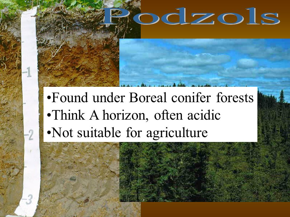 Podzols Found under Boreal conifer forests. Think A horizon, often acidic.