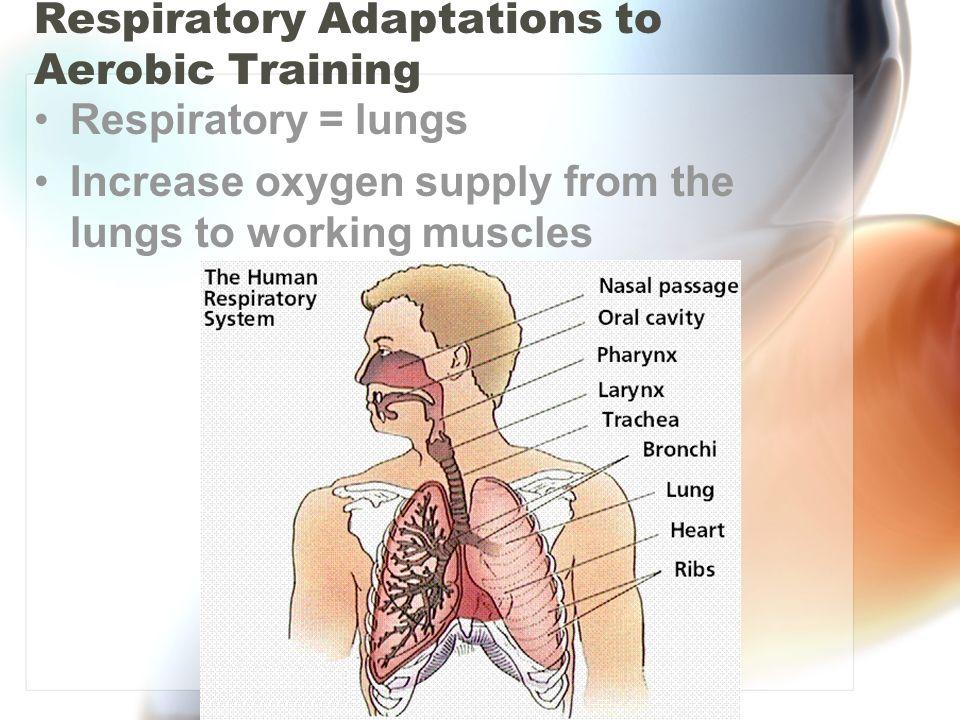 Respiratory Adaptations to Aerobic Training