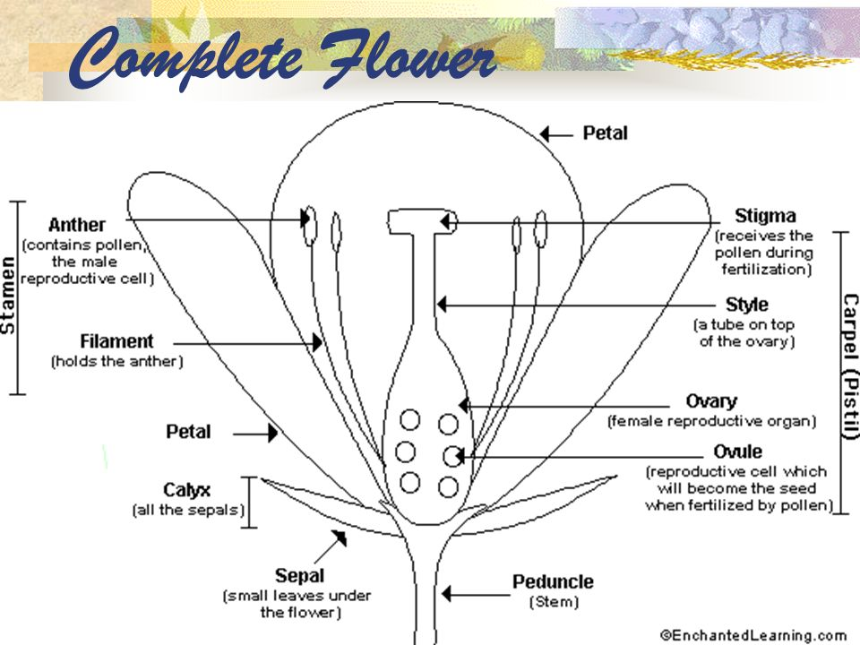 Complete Flower
