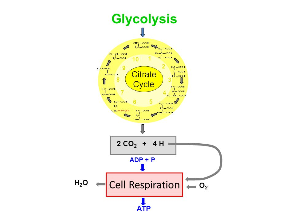 Glycolysis Cell Respiration Citrate Cycle 2 CO2 + 4 H H2O O2 ATP
