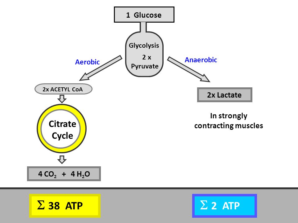 Anaerobic Aerobic Citrate Cycle 1 Glucose 2x Lactate In strongly