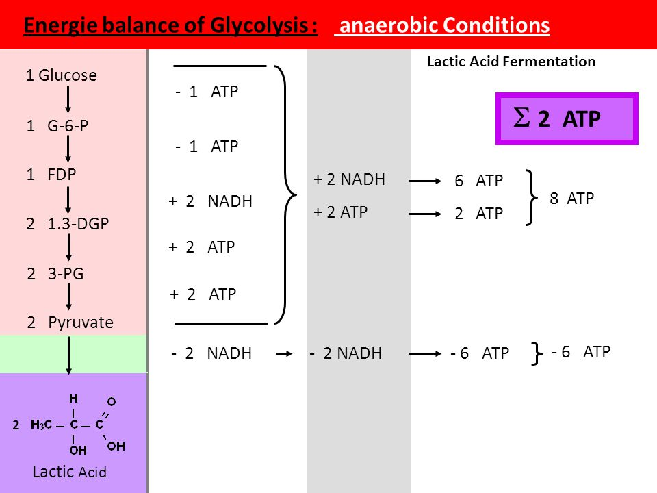 Energie balance of Glycolysis : anaerobic Conditions